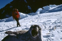 an Antarctic Weddell Seal, photo by Paul Alfille