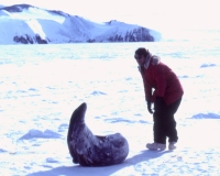 Paul Alfillé approaches a Weddell Seal